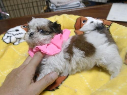シーズーの子犬(ID:1255511281)の3枚目の写真/更新日:2017-08-04