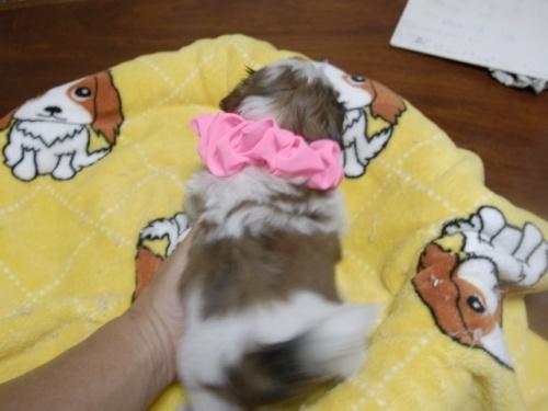 シーズーの子犬(ID:1255511281)の5枚目の写真/更新日:2017-08-04