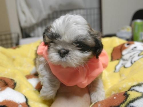 シーズーの子犬(ID:1255511282)の1枚目の写真/更新日:2017-08-04