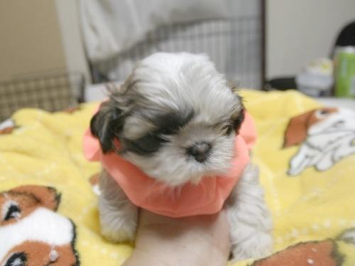 シーズーの子犬(ID:1255511282)の2枚目の写真/更新日:2017-08-04