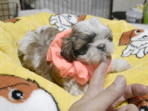 シーズーの子犬(ID:1255511282)の3枚目の写真/更新日:2017-08-04
