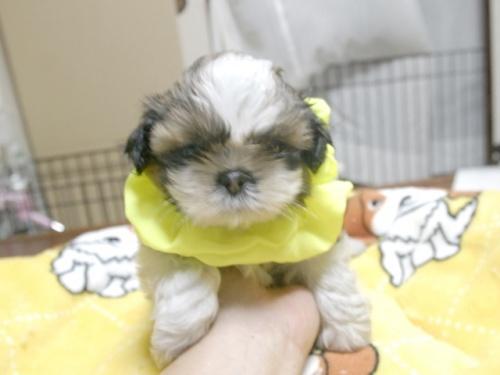 シーズーの子犬(ID:1255511283)の1枚目の写真/更新日:2017-08-04