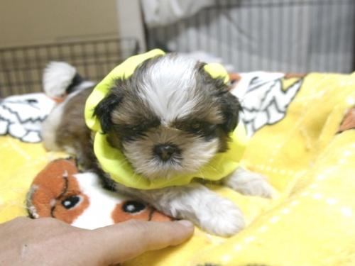 シーズーの子犬(ID:1255511283)の2枚目の写真/更新日:2017-08-04