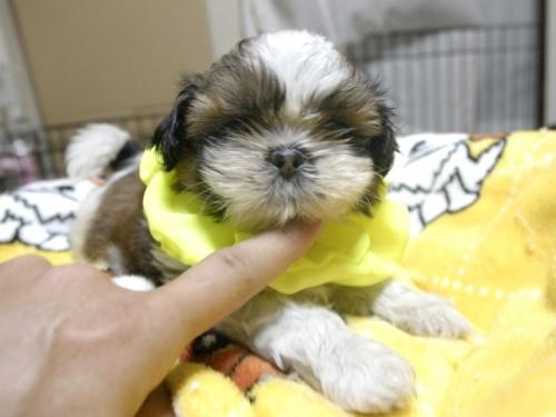 シーズーの子犬(ID:1255511283)の3枚目の写真/更新日:2017-08-04