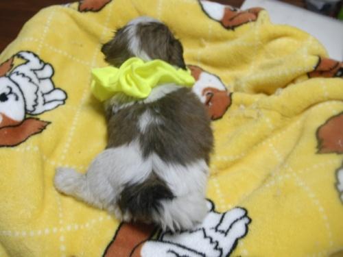 シーズーの子犬(ID:1255511283)の5枚目の写真/更新日:2017-08-04