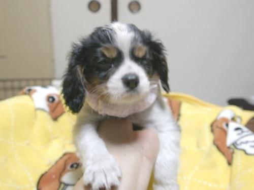 キャバリアの子犬(ID:1255511284)の1枚目の写真/更新日:2017-08-04