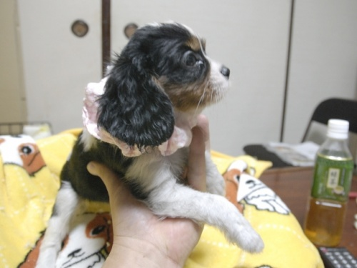 キャバリアの子犬(ID:1255511284)の2枚目の写真/更新日:2017-08-21