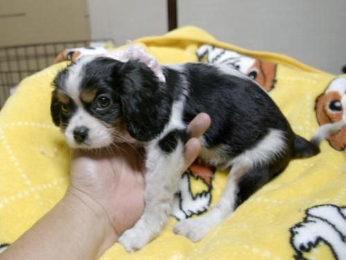 キャバリアの子犬(ID:1255511284)の3枚目の写真/更新日:2017-08-21