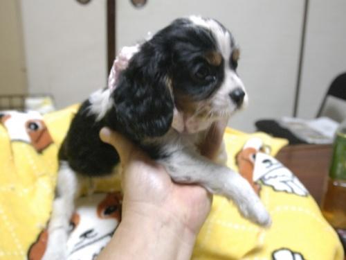 キャバリアの子犬(ID:1255511284)の4枚目の写真/更新日:2017-08-04