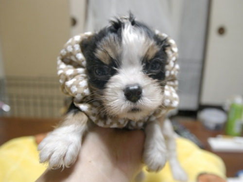 キャバリアの子犬(ID:1255511285)の1枚目の写真/更新日:2017-08-04