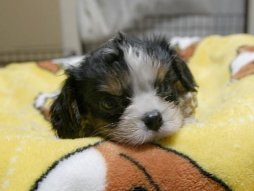 キャバリアの子犬(ID:1255511285)の2枚目の写真/更新日:2017-08-04