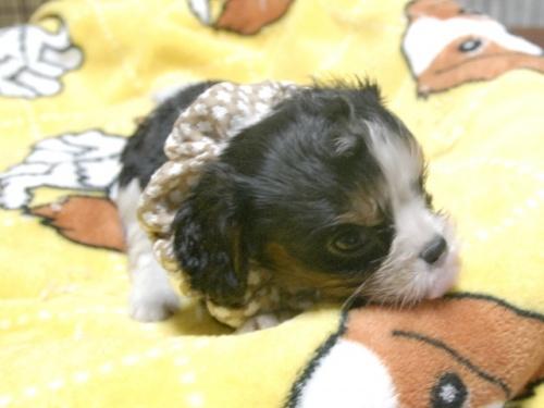 キャバリアの子犬(ID:1255511285)の3枚目の写真/更新日:2017-08-04