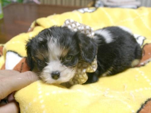 キャバリアの子犬(ID:1255511285)の4枚目の写真/更新日:2017-08-04