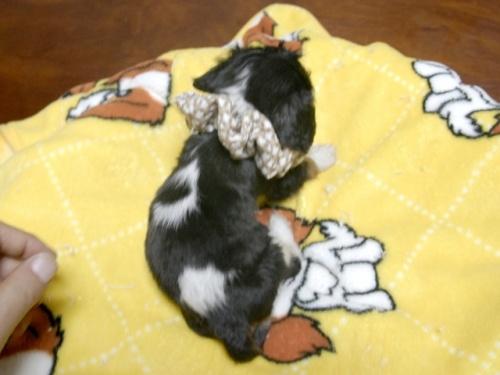 キャバリアの子犬(ID:1255511285)の5枚目の写真/更新日:2017-08-04