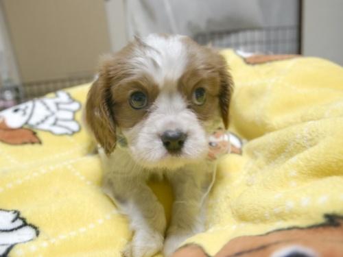 キャバリアの子犬(ID:1255511286)の1枚目の写真/更新日:2017-08-04