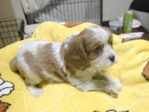 キャバリアの子犬(ID:1255511286)の2枚目の写真/更新日:2017-08-04