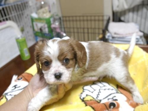 キャバリアの子犬(ID:1255511286)の3枚目の写真/更新日:2017-08-04