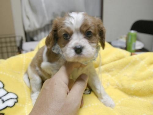 キャバリアの子犬(ID:1255511286)の4枚目の写真/更新日:2017-08-04