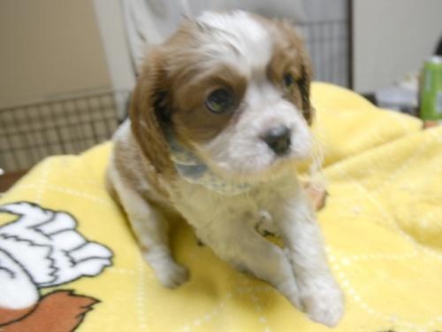 キャバリアの子犬(ID:1255511286)の5枚目の写真/更新日:2017-08-04