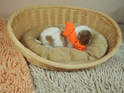 キャバリアの子犬(ID:1255511287)の2枚目の写真/更新日:2017-08-04