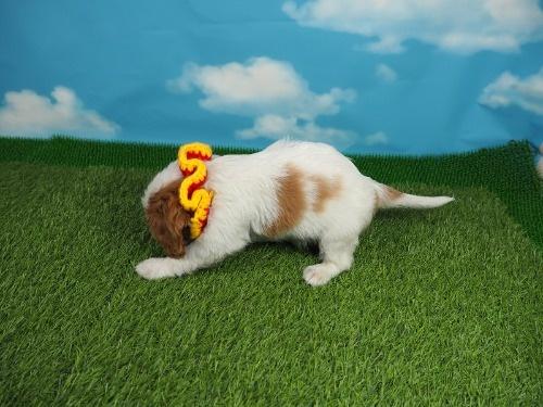 キャバリアの子犬(ID:1255511287)の3枚目の写真/更新日:2019-11-23