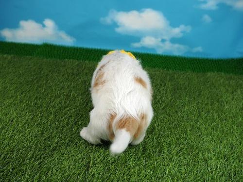 キャバリアの子犬(ID:1255511287)の4枚目の写真/更新日:2017-08-04