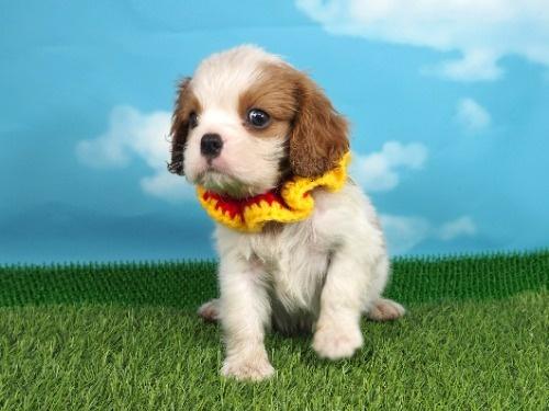 キャバリアの子犬(ID:1255511287)の5枚目の写真/更新日:2017-08-04