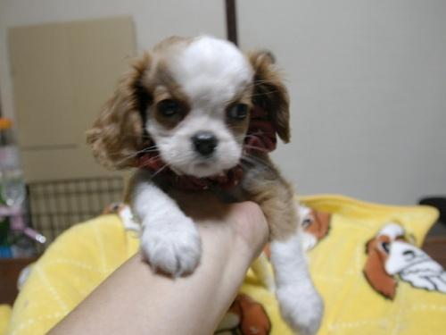 キャバリアの子犬(ID:1255511288)の1枚目の写真/更新日:2017-08-04