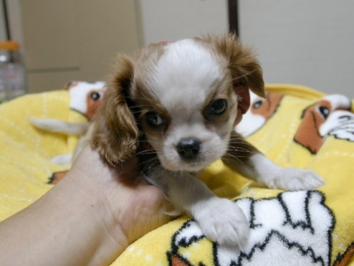 キャバリアの子犬(ID:1255511288)の2枚目の写真/更新日:2017-08-04