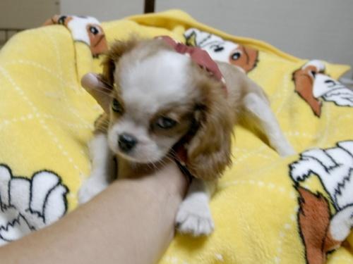 キャバリアの子犬(ID:1255511288)の3枚目の写真/更新日:2017-08-04