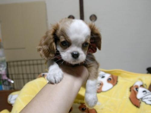 キャバリアの子犬(ID:1255511288)の4枚目の写真/更新日:2017-08-04