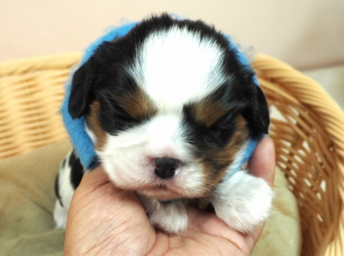 キャバリアの子犬(ID:1255511289)の1枚目の写真/更新日:2017-08-21
