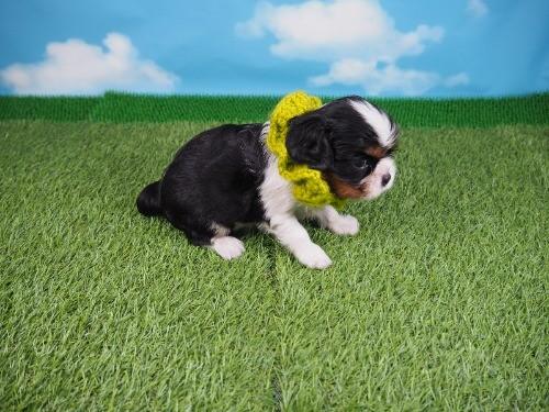 キャバリアの子犬(ID:1255511289)の2枚目の写真/更新日:2017-08-21