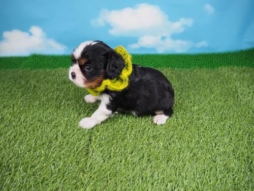 キャバリアの子犬(ID:1255511289)の3枚目の写真/更新日:2017-08-21