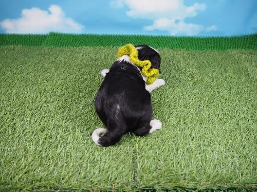 キャバリアの子犬(ID:1255511289)の4枚目の写真/更新日:2017-08-04