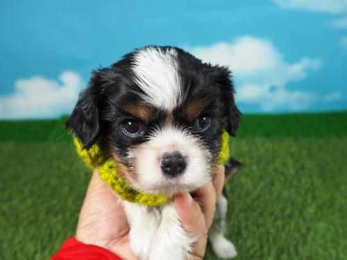 キャバリアの子犬(ID:1255511289)の5枚目の写真/更新日:2017-08-21