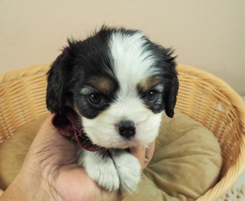 キャバリアの子犬(ID:1255511290)の1枚目の写真/更新日:2017-08-21
