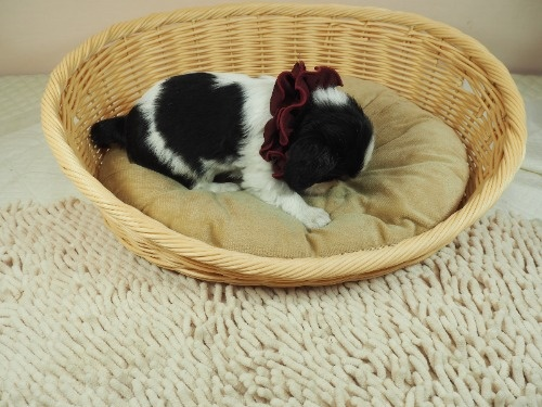 キャバリアの子犬(ID:1255511290)の2枚目の写真/更新日:2017-08-21