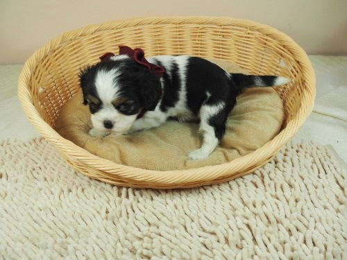 キャバリアの子犬(ID:1255511290)の3枚目の写真/更新日:2017-08-21
