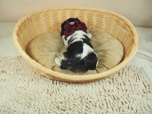 キャバリアの子犬(ID:1255511290)の4枚目の写真/更新日:2017-08-04