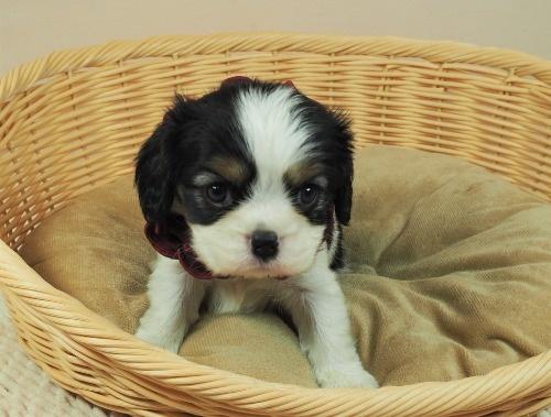 キャバリアの子犬(ID:1255511290)の5枚目の写真/更新日:2017-08-04