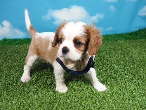 キャバリアの子犬(ID:1255511291)の1枚目の写真/更新日:2017-08-04