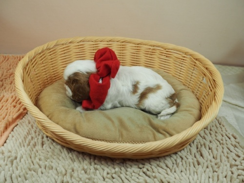 キャバリアの子犬(ID:1255511291)の3枚目の写真/更新日:2017-08-04