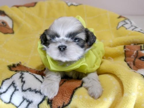 シーズーの子犬(ID:1255511292)の1枚目の写真/更新日:2019-03-01