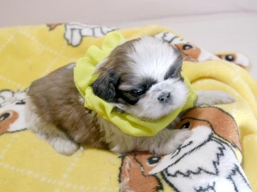 シーズーの子犬(ID:1255511292)の2枚目の写真/更新日:2019-03-01