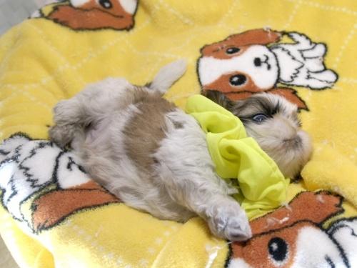 シーズーの子犬(ID:1255511292)の3枚目の写真/更新日:2019-03-01