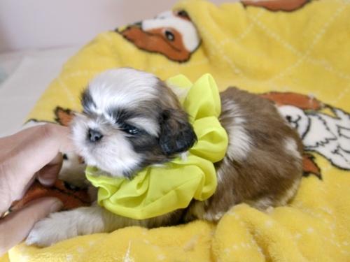 シーズーの子犬(ID:1255511292)の4枚目の写真/更新日:2019-03-01