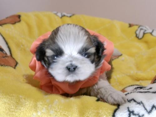 シーズーの子犬(ID:1255511293)の1枚目の写真/更新日:2019-03-01