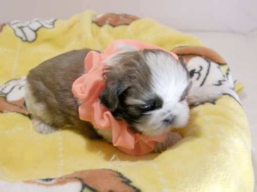 シーズーの子犬(ID:1255511293)の2枚目の写真/更新日:2019-03-01