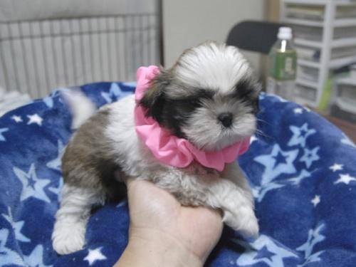 シーズーの子犬(ID:1255511294)の2枚目の写真/更新日:2017-08-24